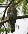 Common Hawk Cuckoo (Cuculus varius) in Hyderabad W IMG 7184.jpg