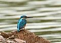 Common Kingfisher (Alcedo atthis) (42986471865).jpg