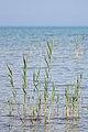 Common Reed (Phragmites australis) - MacGregor Point Provincial Park 02.jpg