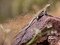 Common Side-blotched Lizard (b04d81e1-fdf7-4581-8540-2076fee9a6d8).jpg