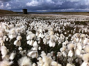 Symbols of Manchester - The cottongrass is the county flower of Greater Manchester
