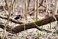 Common grackle (32995909146).jpg