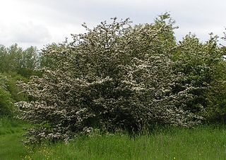 <i>Crataegus monogyna</i> species of plant