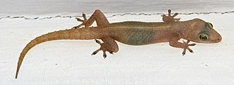 Common house gecko - Common House Gecko