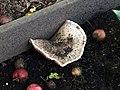 Compost Mushroom (22710575554).jpg
