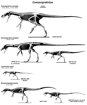 Compsognathidae - Compsognathid skeletons to scale