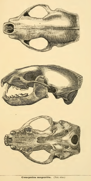 Striped hog-nosed skunk - Skull