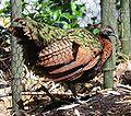 Congo Peafowl 789.jpg