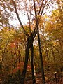 Conjoined trees at Bold Moon in Fall.jpg