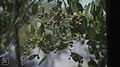 Conocarpus erectus, button wood. Inagua. 1979 (37983939555).jpg