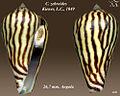 Conus zebroides 4.jpg