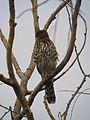 Cooper's Hawk, Accipiter cooperii - Flickr - GregTheBusker.jpg