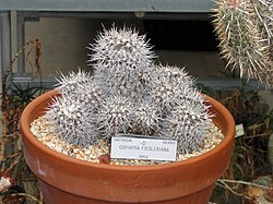 Copiapoa fiedleriana - University of California Botanical Garden - DSC08868.JPG