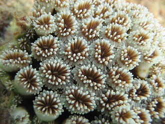 Close up of polyps arrayed on a coral, waving their tentacles. There can be thousands of polyps on a single coral branch. Coral detail.jpg