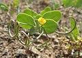 Coronilla scorpioides kz01.jpg