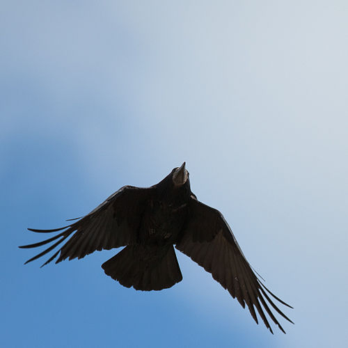 Corvus frugilegus -Ireland -flying-8 (1).jpg