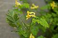 Corydalis pallida var. tenuis 03.jpg