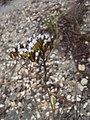 Corymbium scabridum vBerkel pappus 1.jpg