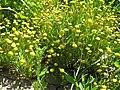 Cotula coronopifolia 04.jpg