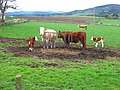 Cows with calfs, Braigiewell - geograph.org.uk - 729166.jpg