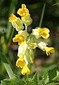 Cowslip (Primula veris) - geograph.org.uk - 431752.jpg