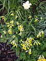 Cowslips in Yorkshire April 2014.jpg