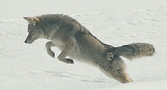 A coyote pouncing on prey. Coyote Pouncing.jpg