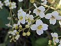 Crambe cordifolia.jpg