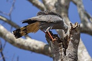 Crane hawk - Image: Crane hawk (Geranospiza caerulescens)