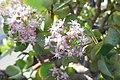 Crassula arborescens subsp. undulatifolia-Jardin botanique de Berlin (2).jpg