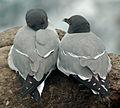 Creagrus furcatus -Galapagos Islands -two-8 (1).jpg