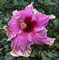 Cream and Pink Hibiscus-1 (26674661764).jpg