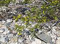 Creosote-bush Larrea tridentata blooms.jpg