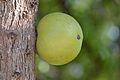 Crescentia cujete in El Salvador (Morro - Calabash Tree).jpg