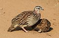 Crested Francolin, Dendroperdix sephaena, feeding in dung at Pilanesberg National Park, Northwest Province, South Africa (29233176693).jpg