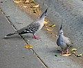 Crested Pigeons (32231368706).jpg