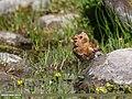 Crimson-winged Finch (Rhodopechys sanguineus) (35577236073).jpg