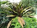 Crinum asiaticum var. asiaticum (Crinum augustum) - United States Botanic Garden - DSC09501.JPG