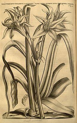 Crinum zeylanicum typus