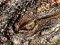 Croc eye.jpg