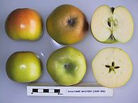 Cross section of Bascombe Mystery, National Fruit Collection (acc. 1935-006).jpg