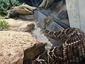 Crotalus adamanteus - Vivarium de Meyrin 02.JPG