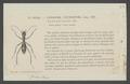 Ctenostoma - Print - Iconographia Zoologica - Special Collections University of Amsterdam - UBAINV0274 009 03 02 0006.tif