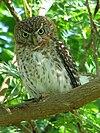 Cuban Pygmy-owl (Glaucidium siju)