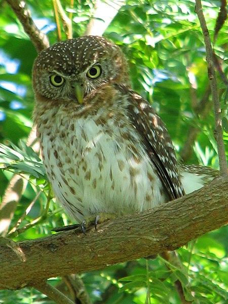 Ficheiro:Cuban Pygmy-owl (Glaucidium siju).jpg