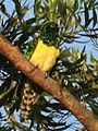 Cuckoo African Emerald2008 01 12 05 55 19 7025.jpg