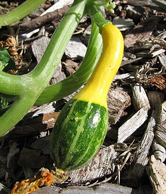 Eastern Agricultural Complex - Cucurbita pepo was bred to produce both edible squash and gourds.