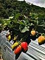 Cultivo de fresa en jurutungo.jpg