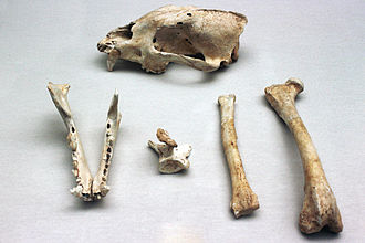 Dhole - Skeletal remains of a European dhole dating back to upper Würm period from Cova Negra de Játiva, Valencia, Spain