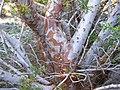 Cupressus stephensonii bark - Flickr - theforestprimeval.jpg